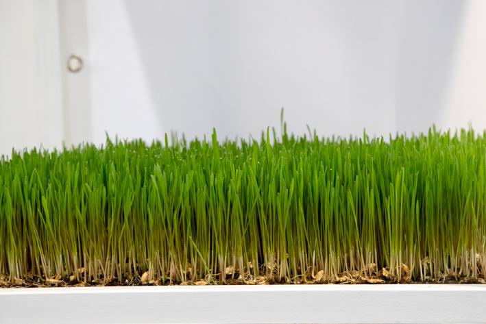 Dinkel_grass